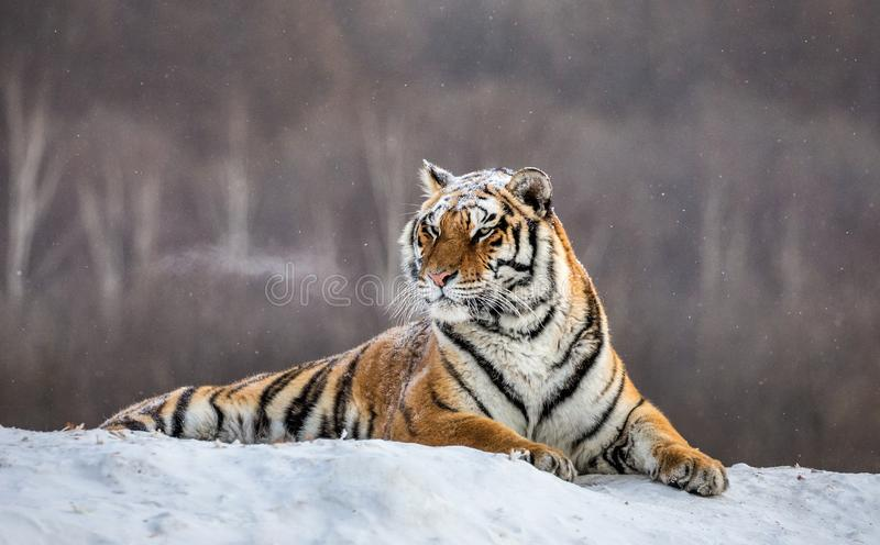 Siberian tiger lying on a snow-covered hill. Portrait against the winter forest. China. Harbin. Mudanjiang province. Hengdaohezi park. Siberian Tiger Park royalty free stock photo