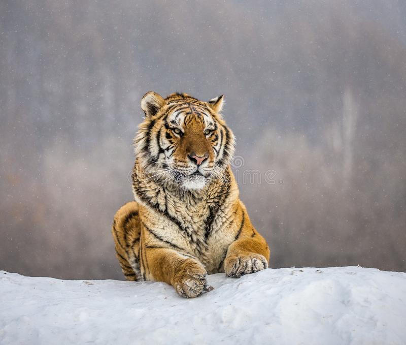 Siberian tiger lying on a snow-covered hill. Portrait against the winter forest. China. Harbin. Mudanjiang province. Hengdaohezi park. Siberian Tiger Park royalty free stock images