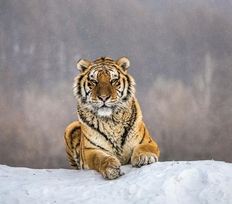 Siberian tiger lying on a snow-covered hill. Portrait against the winter forest. China. Harbin. Mudanjiang province. Hengdaohezi park. Siberian Tiger Park stock images