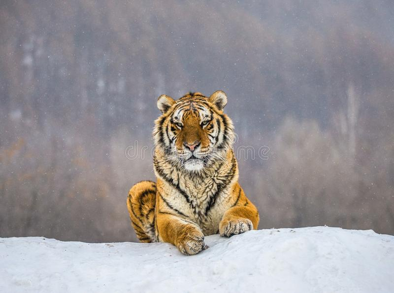 Siberian tiger lying on a snow-covered hill. Portrait against the winter forest. China. Harbin. Mudanjiang province. Hengdaohezi park. Siberian Tiger Park royalty free stock image