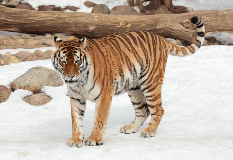Siberian tiger in moscow zoo. Siberian tiger on winter in moscow zoo stock photo
