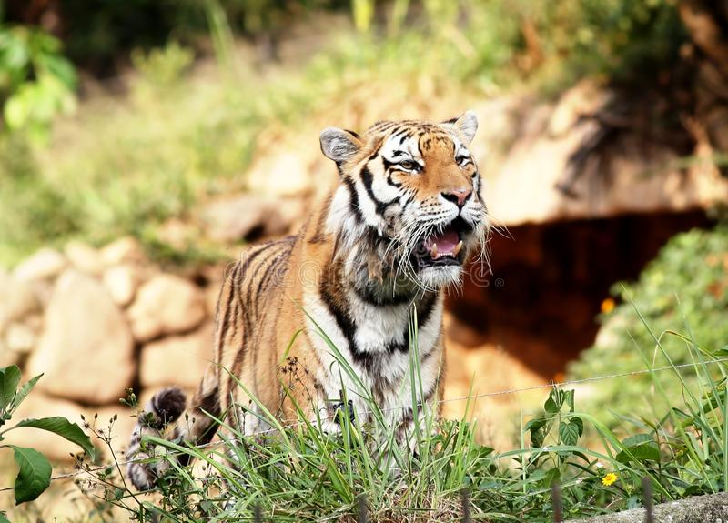 Siberian tiger open-mouthed royalty free stock images