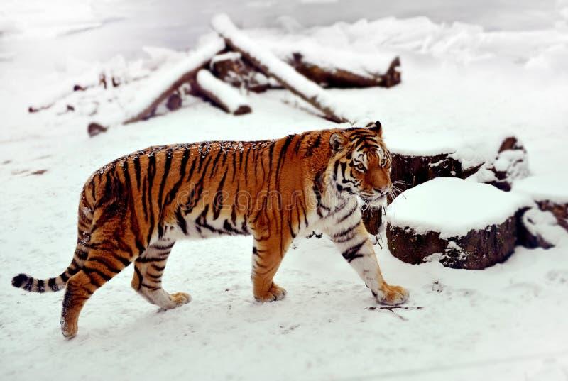 Siberian tiger på en snö arkivfoto