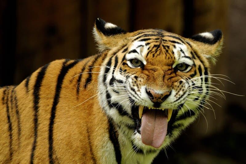 Download Siberian Tiger ( Panthera Tigris Altaica ) Royalty Free Stock Photos - Image: 15437828