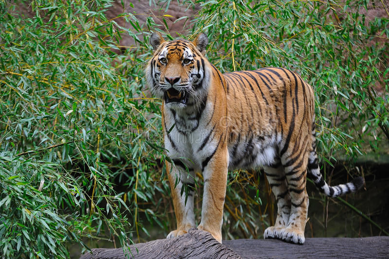 Siberian tiger (Panthera tigris altaica) stock photography