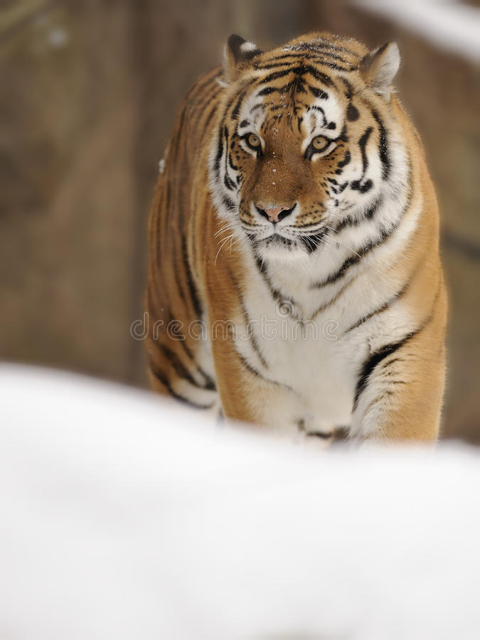 Siberian Tiger ( Panthera tigris altaica ). The Siberian tiger is also known as the Amur, Manchurian, Altaic, Korean, North China or Ussuri tiger and is a very royalty free stock photos