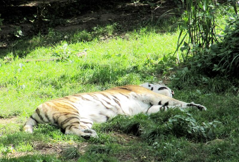 The Siberian tiger, Panthera tigris altaica, also called Amur Tiger or Ussuri Tiger, is a subspecies of the tiger and the largest stock photos