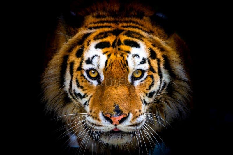 Siberian tiger, Panthera tigris altaica, also known as the Amur tiger stock photo
