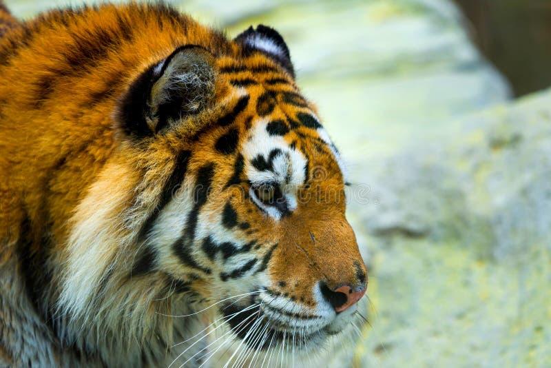 Siberian tiger, Panthera tigris altaica, also known as the Amur tiger stock photos