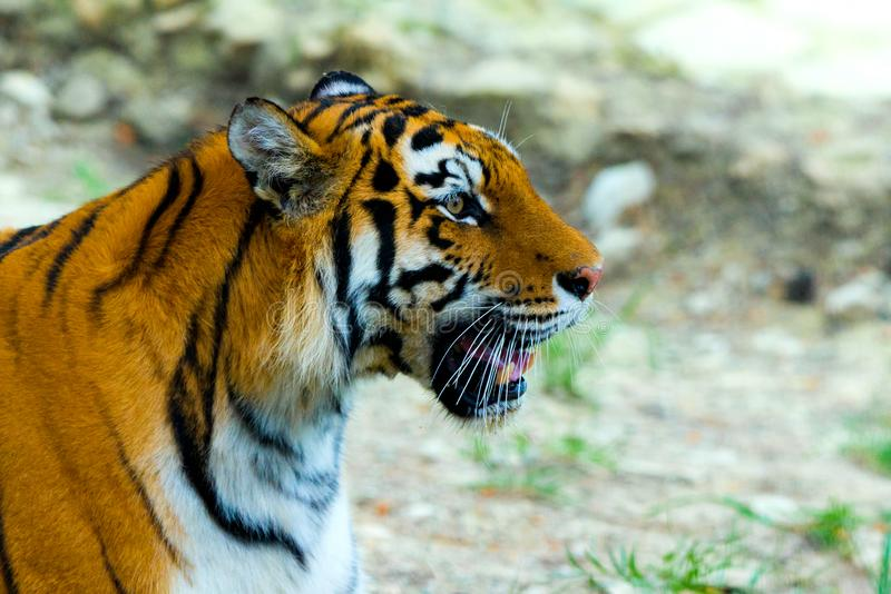 Siberian tiger, Panthera tigris altaica, also known as the Amur tiger royalty free stock photo
