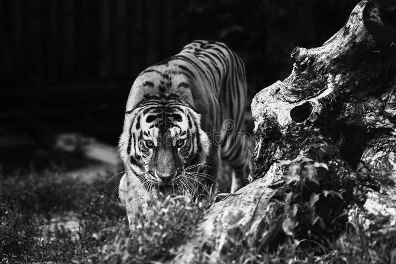 Siberian tiger Panthera tigris altaica, also known as the Amur tiger stock photo