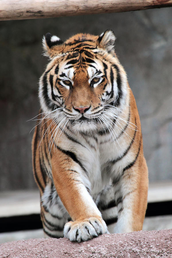 Siberian tiger (Panthera tigris altaica) approaching royalty free stock photography