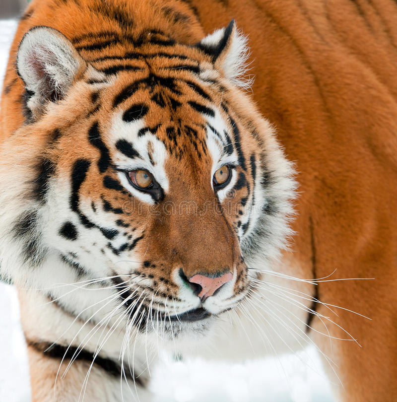The Siberian tiger Panthera tigris altaica. Close up portrait royalty free stock image