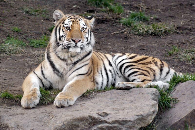 Download Siberian Tiger (Panthera Tigris Altaica) Stock Image - Image: 29964901