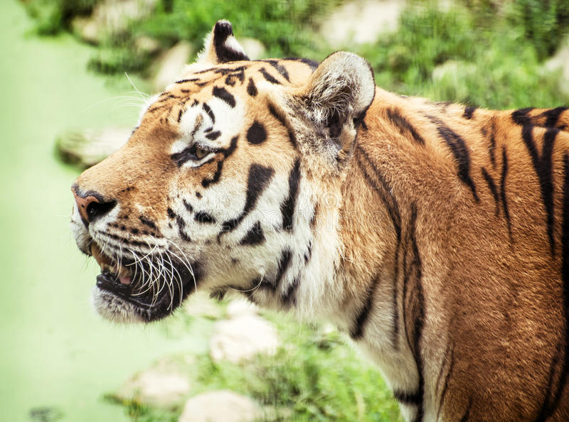 Siberian tiger (Panthera tigris altaica) portrait, animal theme. Siberian tiger (Panthera tigris altaica), also known as the Amur tiger, is a tiger subspecies stock images