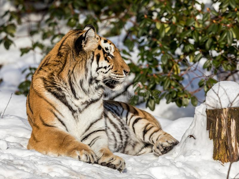 Siberian tiger, Panthera tigris altaica, resting in the snow in the forest. Looking at camera. Siberian tiger, Panthera tigris altaica, looking into camera royalty free stock photo