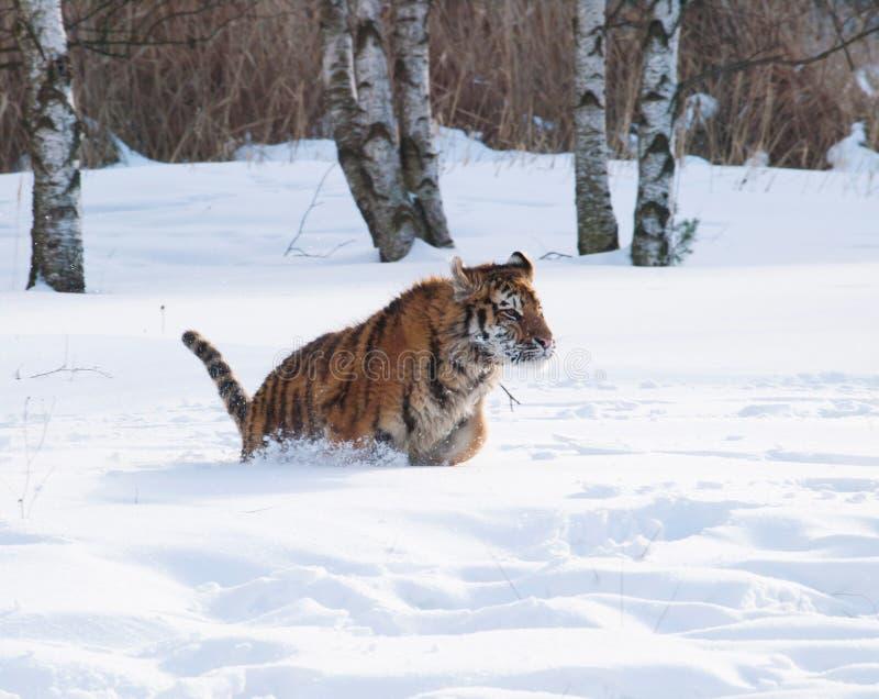 Siberian tiger run through birch forest in winter - Panthera tigris altaica stock photo