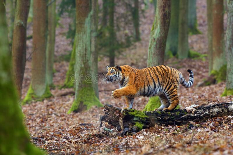 The Siberian Tiger Panthera tigris tigris also called Amur tiger Panthera tigris altaica in the forest, Young female tiger in stock photography