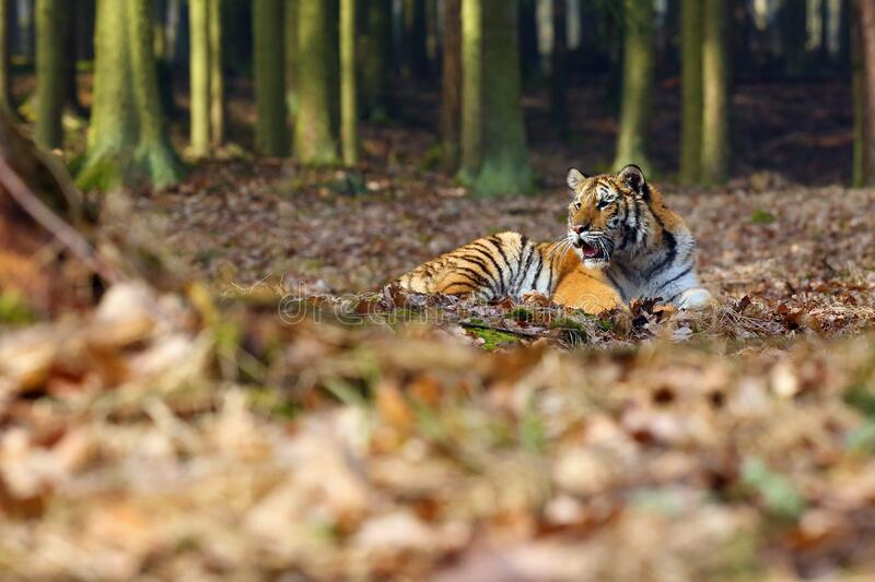 Siberian Tiger Panthera tigris tigris, also called Amur Tiger Panthera tigris altaica lies in the forest. Young tiger in stock images