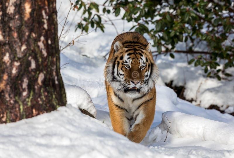 Siberian tiger, Pantheratigris altaica som går in mot kamera i det insnöat vinterskogen royaltyfri bild