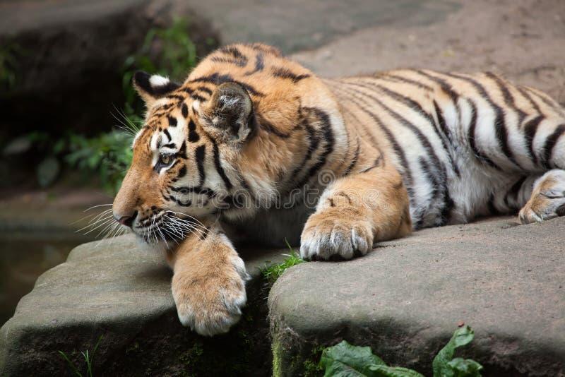 Siberian tiger & x28; Pantheratigris altaica& x29; royaltyfria bilder
