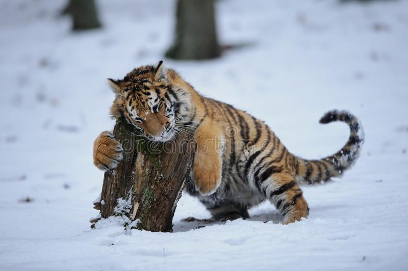 Tiger playing with stump royalty free stock image