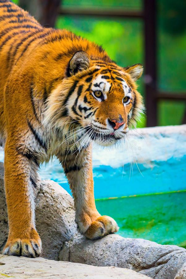 Siberian tiger portrait. Aggressive stare face meaning danger for the prey. Closeup view to angry expression stock images