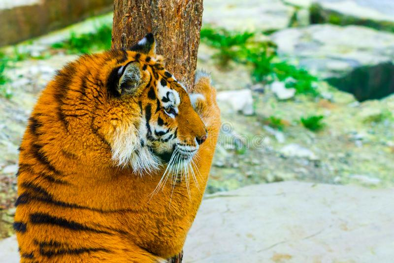 Siberian tiger portrait. Aggressive stare face meaning danger for the prey. Closeup view to angry expression stock photos