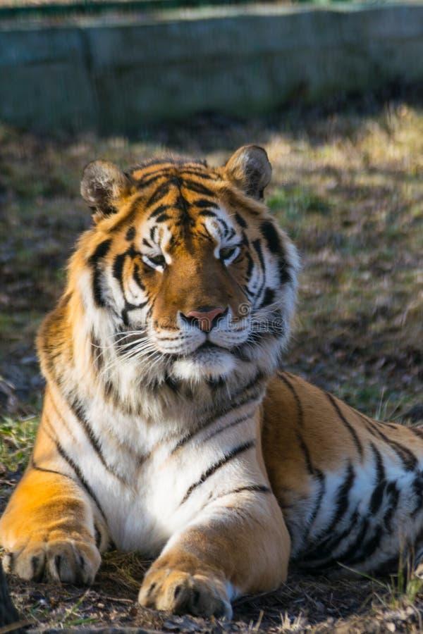 Siberian tiger portrait close up stock photo