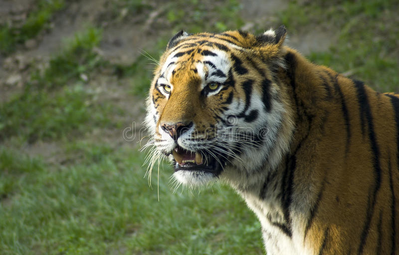 Siberian tiger portrait. A great siberian tiger face royalty free stock photography