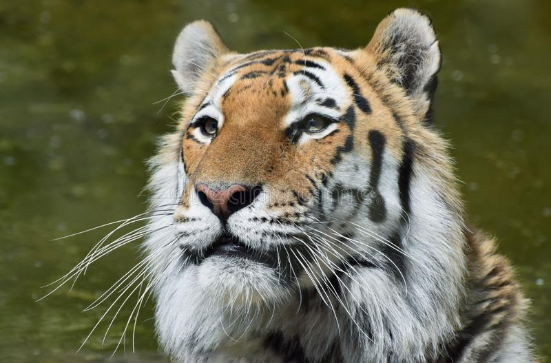 Siberian Tiger Portrait Head and Face. A close up photograph of a siberian tiger`s face and head looking noble and regal stock photos
