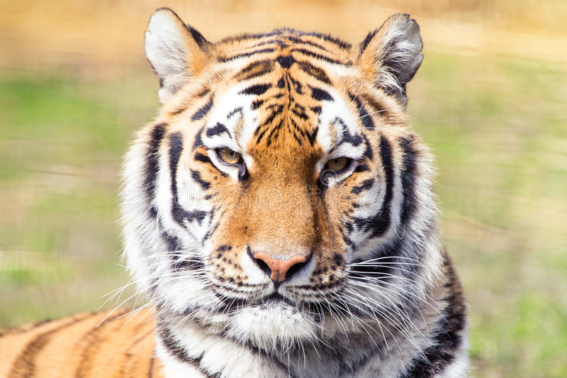 Siberian tiger. Portrait, The largest cat royalty free stock image