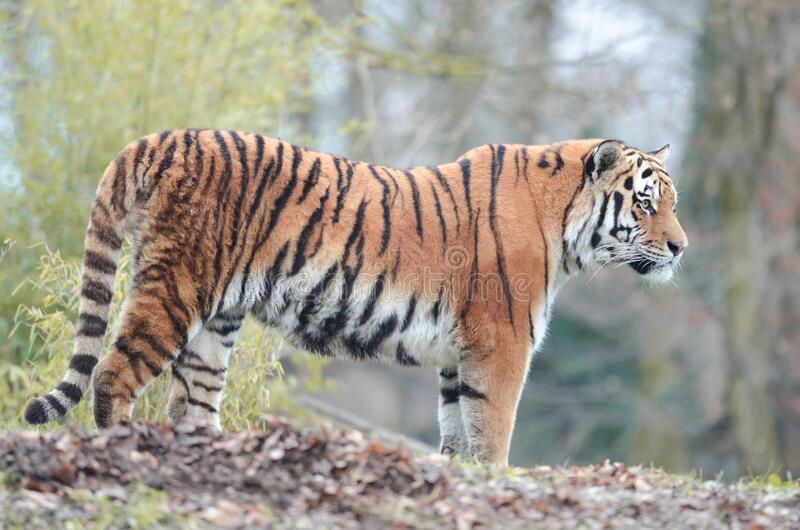 Siberian tiger portrait. Siberian tiger in the wilderness royalty free stock photography