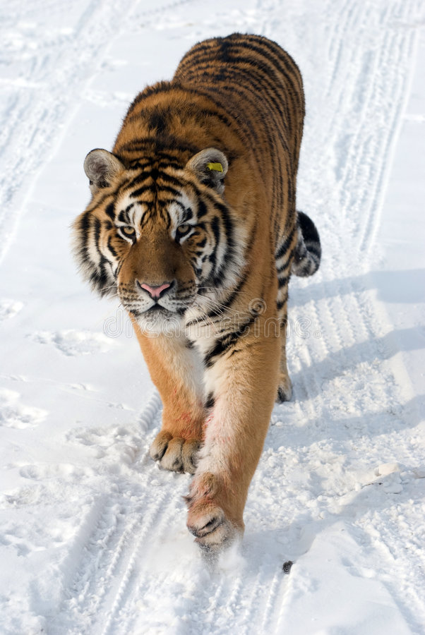 Siberian Tiger Prowling Royalty Free Stock Image