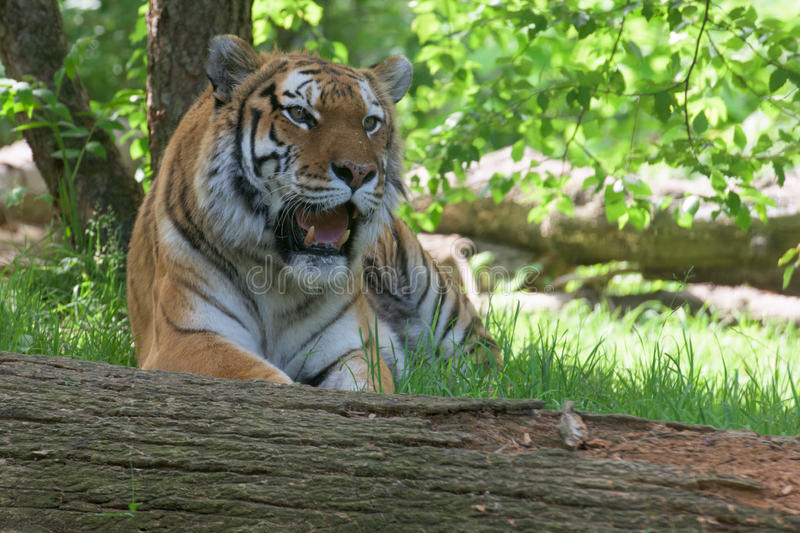 Siberian tiger ready to attack looking at you stock photos