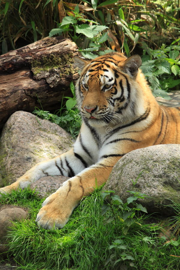 Siberian tiger resting. In natural looking habitat in a zoo in the netherlands stock photo