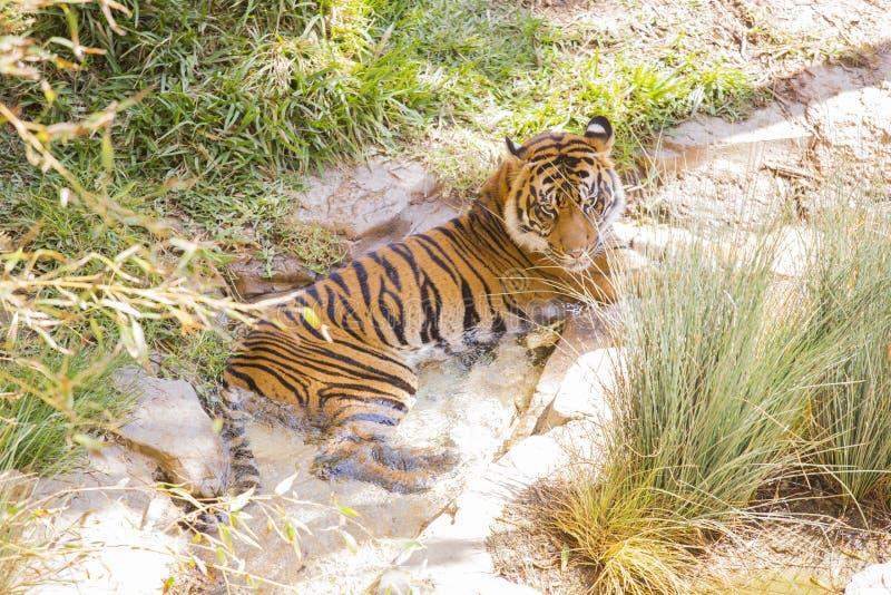 Siberian Tiger Resting no córrego fresco fotografia de stock royalty free