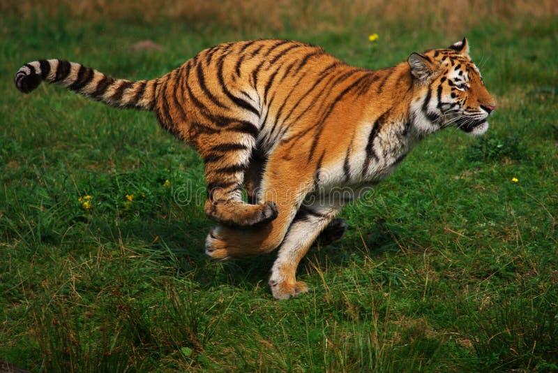 Siberian tiger running royalty free stock photography