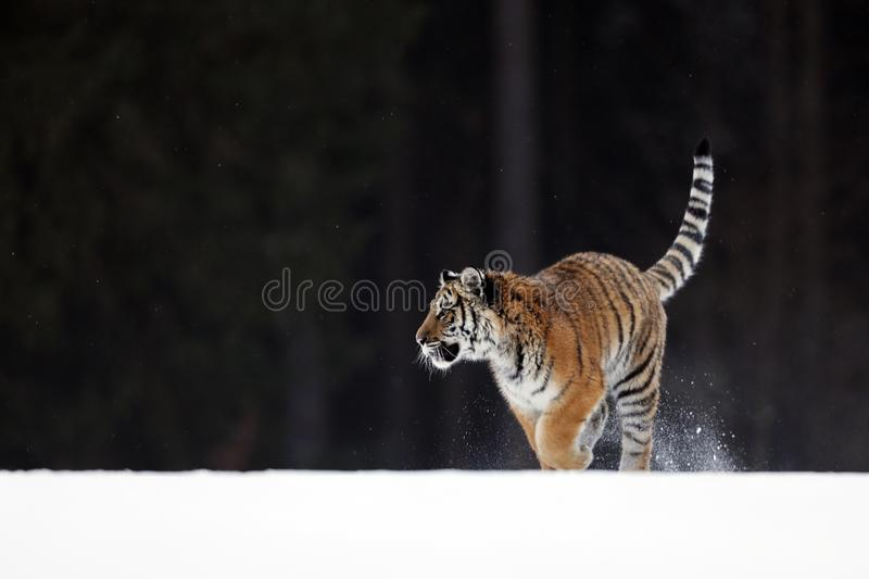 Siberian Tiger running. Beautiful, dynamic and powerful animal. Set in environment typical for this amazing animal. Taiga  russia. Siberian tiger in wild winter stock image