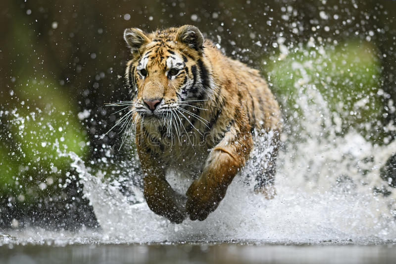 Siberian Tiger. Running through water