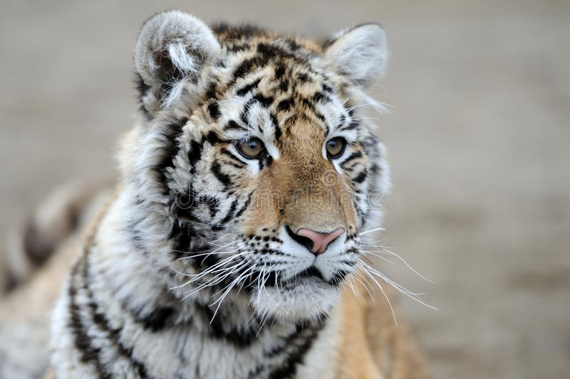 Siberian Tiger. This is shot of a Siberian tiger in is habitat stock images