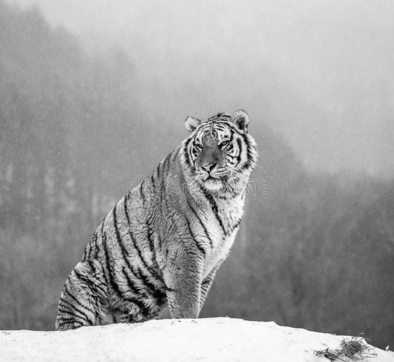Siberian tiger sits on a snowy hill against the background of a winter forest. Black and white. China. Harbin. Mudanjiang province. Hengdaohezi park. Siberian royalty free stock photography