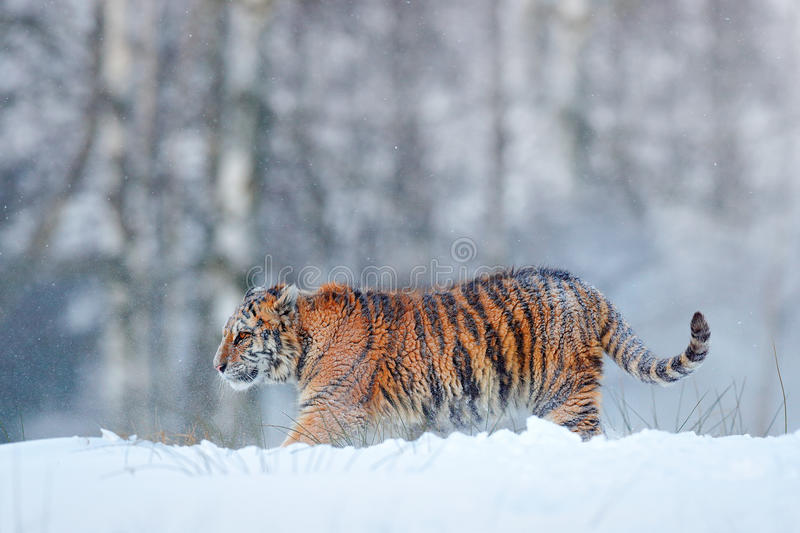 Siberian tiger in snow fall. Amur tiger running in the snow. Tiger in wild winter nature. Action wildlife scene with danger animal. Russia royalty free stock photos