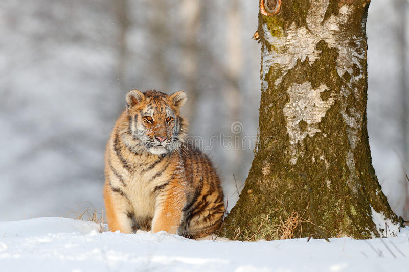 Siberian tiger in snow fall, birch tree. Amur tiger sitting in snow. Tiger in wild winter nature. Action wildlife scene with dange. R stock photos