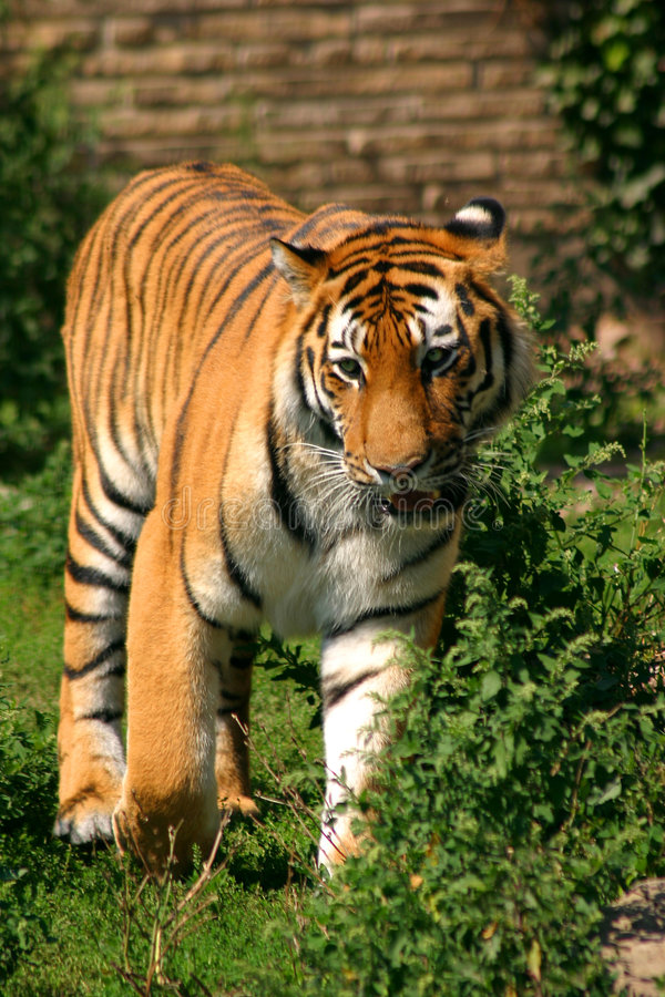 Free Siberian Tiger Stare Stock Photography - 231312
