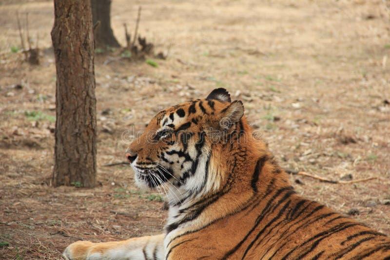 Siberian tiger (vetenskapligt namn: Pantheratigris altaica) royaltyfri fotografi