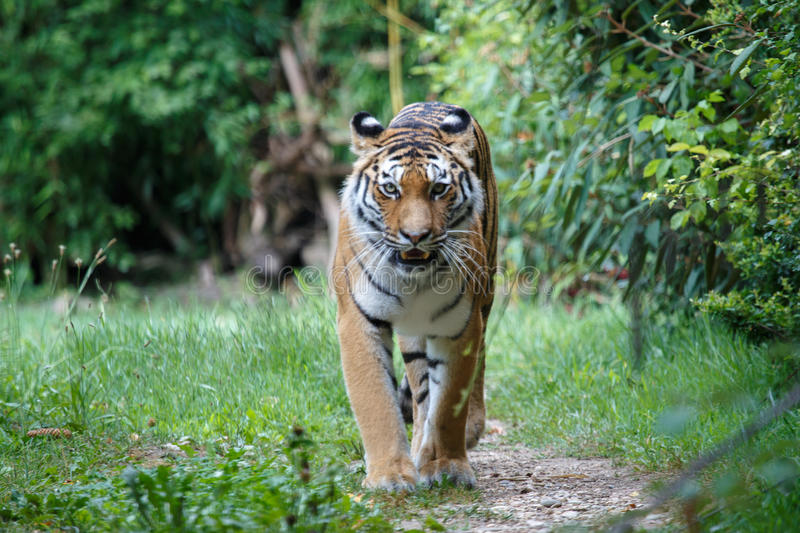 Siberian tiger walking along a path trail in the forest stock photo