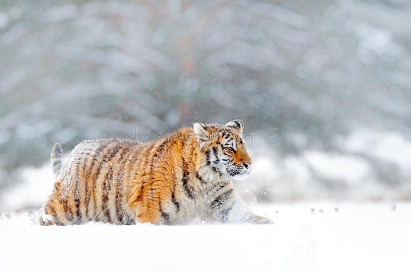 Siberian tiger walking in the snow. Winter scene with Amur tiger. Wildlife from nature on taiga, Russia. Big danger animal in snow. Y condition stock images