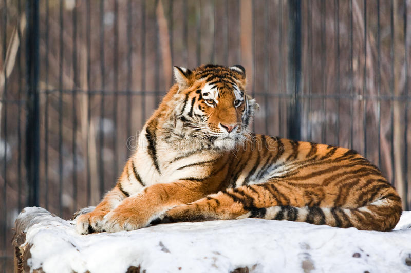 Siberian Tiger In Zoo Stock Photography