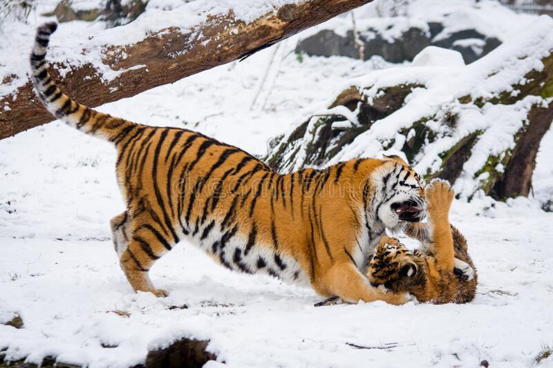 Siberian Tigers royalty free stock photo